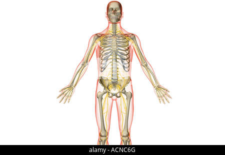 The nerves of the upper body - Stock Photo