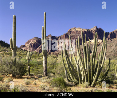 geography / travel, USA, Arizona, Organ Pipe Cactus National Monument, saguaro, cactuses, cactus - Stock Photo