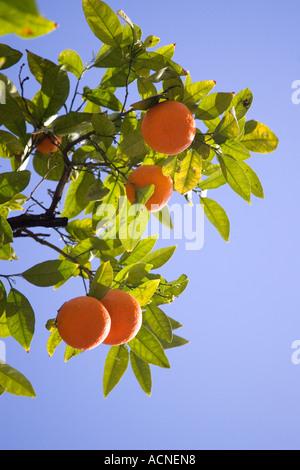 Orange Tree on Street, Seville, Spain - Stock Photo
