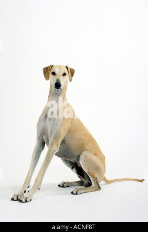 Sloughi - Stock Photo