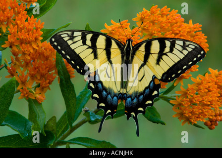 Eastern Tiger Swallowtail Butterfly Papilio glaucus on Butterfly Weed Asclepias tuberosa  E USA - Stock Photo