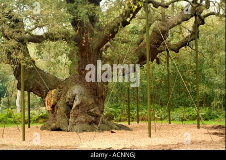 The Major Oak tree in Sherwood Forest - Stock Photo