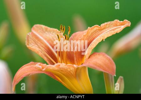 orange Lilium - Lilium - Stock Photo