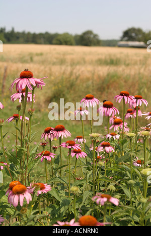 Cut leaved coneflowerEchinacea purpur - Sonnenhut Echinacea purpur - Stock Photo