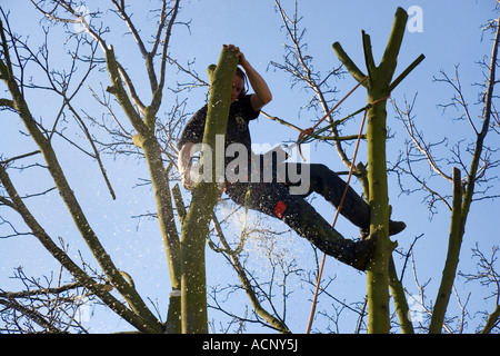 A tree surgeon hanging by a harness in the top of a tree cutting through a branch with a chain saw - Stock Photo