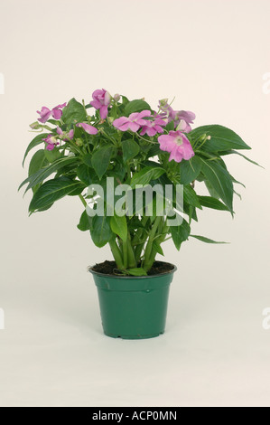 Impatiens new guinea hybrid pot plant wilted before and healthy after stock photo royalty free - Seven tricks for healthier potted plants ...