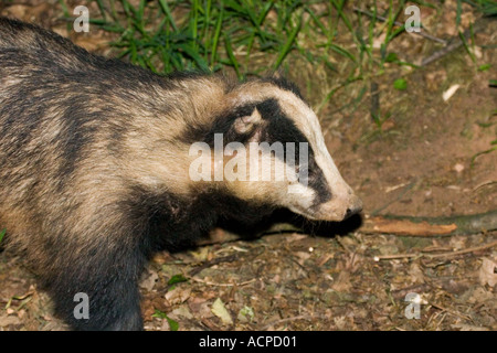 Very old and battered badger closeup - Stock Photo