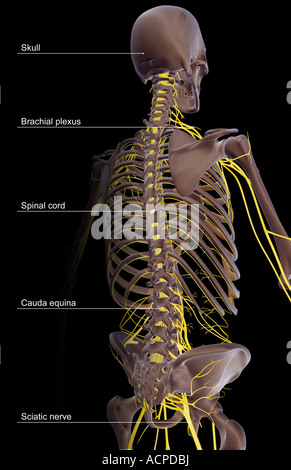 The nerve supply of the upper body - Stock Photo