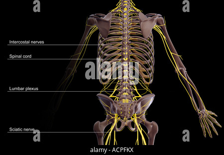 The nerve supply of the trunk - Stock Photo