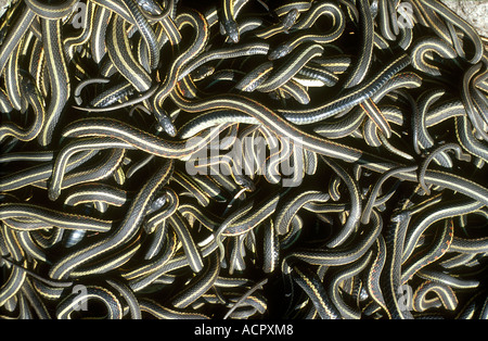 Red-sided garter snakes (Thamnophis sirtalis parietalis) mating ball - Stock Photo