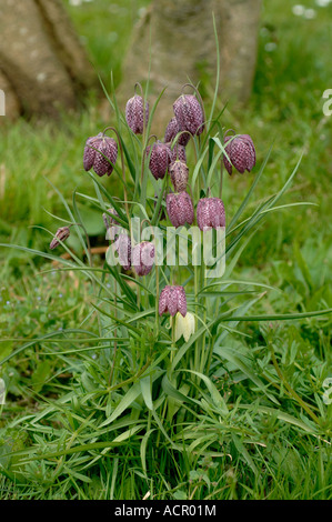 Snake s head fritillary Fritillaria meleagris flowering in a small group - Stock Photo