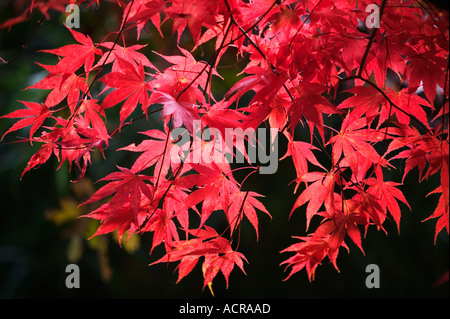 A Japanese Red Maple tree Acer Palmatum at Westonbirt Arboretum Gloucestershire UK - Stock Photo