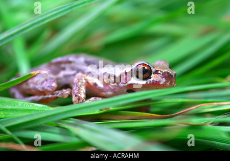 a red eyed bleating tree frog litoria dentata hides in the grass - Stock Photo