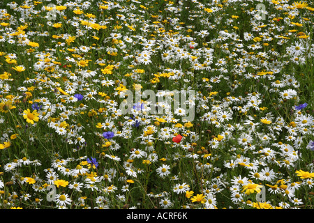 A mixture of dog daisies, cornflowers and other organically grown wild flowers - Stock Photo