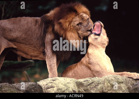 Asian Lions Mating In Captivity Stock Photo 4315443 Alamy