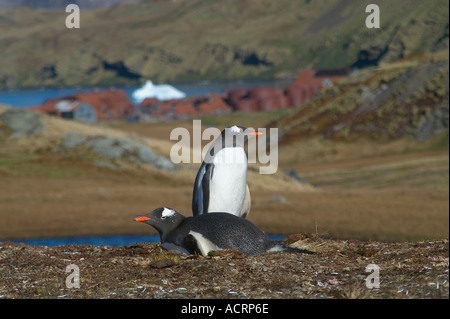 Gentoo penguins Pygoscelis Papua sit on their nest above the abandoned whaling community of Stromness the place - Stock Photo