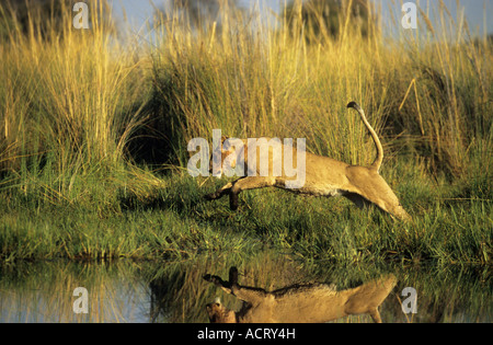 Leaping lioness reflected in water Chitabe Okavango Delta Botswana - Stock Photo