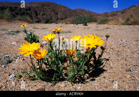 Unidentified Namaqualand daisies Dimorphotheca species in dry river bed Richtersveld Northern Cape Province South - Stock Photo