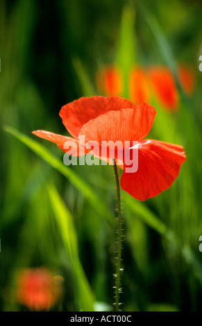 Typical wild poppies of the fields near Sarnano in Le Marche,Italy - Stock Photo