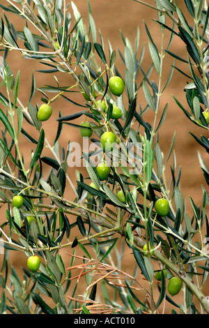 The Fresh green olives produced around Ascoli Piceno in Le Marche are famous for their flavor and succulence - Stock Photo