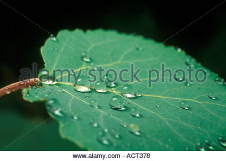 Dew Drops form in the morning hours on a newly grown  Aspen leaf  in the Catalina Mountain Range near Tucson  Arizona Stock Photo