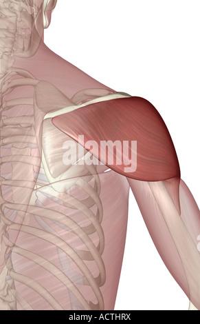 Deltoid muscle - Stock Photo