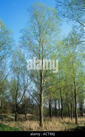 Plantation of White willow or Salix alba in first flush of fresh early spring green with dried grasses below and - Stock Photo