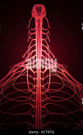 Nerve supply of the upper body - Stock Photo