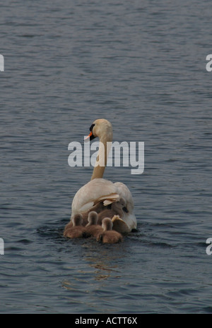 Adult Mute Swan (Cygnus olor) Swimming On A Freshwater Lake With Its Young.With One cygnet Hitching A Ride On Its - Stock Photo