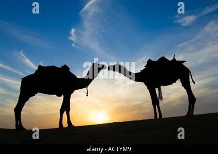 Two Jaisalmeri camels (Camelus dromedarius) 'in love' kissing and silhouetted by the setting sun in the Thar desert. - Stock Photo