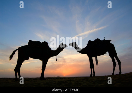 Two Jaisalmeri camels (Camelus dromedarius) 'in love' silhouetted watching the setting sun in the Thar desert. - Stock Photo