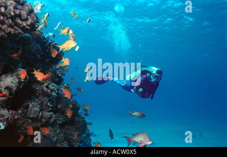 A scuba diver finning around a coral reef watching the goldfish (anthias squamipinnis). - Stock Photo