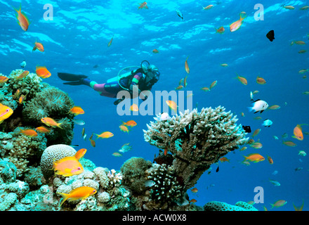 A scuba diver finning around a coral reef observing the goldfish (anthias squamipinnis) and other varieties of small - Stock Photo