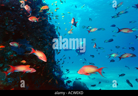 A scuba diver finning around a coral reef watching the many goldfish (anthias squamipinnis). - Stock Photo