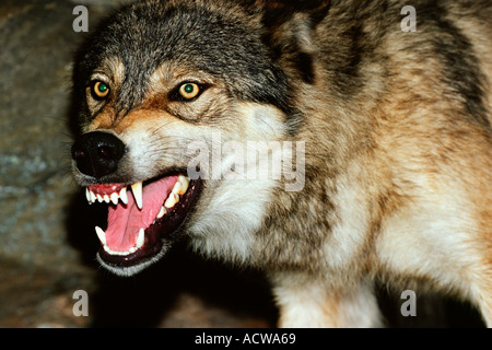 Snarling wolf - Stock Photo