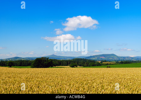 Wheat field at Raglan in Monmouthshire, South Wales. The peaks of the mountains of the Brecon Beacons National Park - Stock Photo