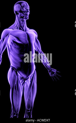 Muscles of the upper body - Stock Photo