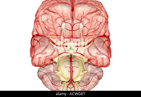 The arteries of the brain - Stock Photo