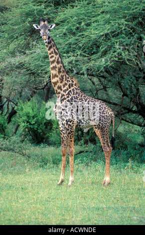 Maasai giraffe in the Lake Manyara national park - Stock Photo