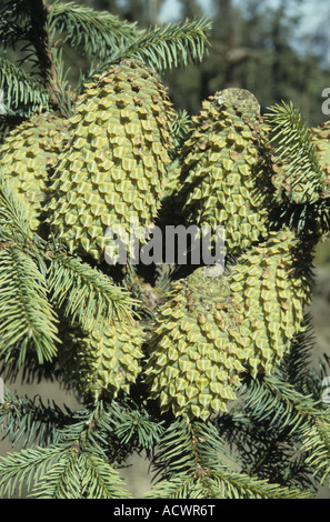 Fir Abies colimensis Abies religiosa relative or form cones Nevada de Colima Jalisco State Mexico - Stock Photo
