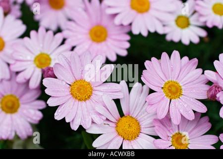 spring daisies flowers in garden - Stock Photo