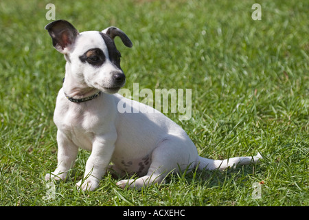 Jack Russel terrier puppy - Stock Photo