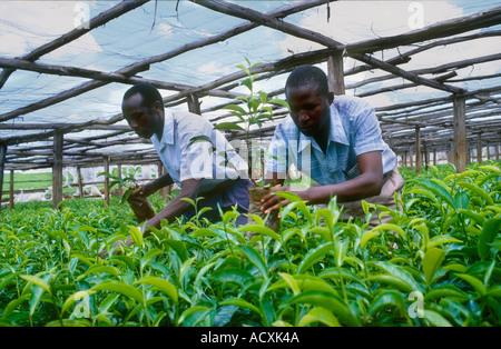 Tending to the young tea plants in the Nursery making selections Kericho Tea Plantation Kenya - Stock Photo
