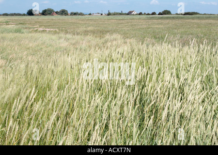 Windswept saltmarsh grasses form part of Bridgwater bay National Nature Reserve at Steart - Stock Photo