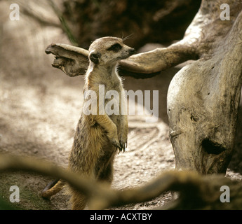 The meerkat or suricate Suricata suricatta is a small mammal and a member of the mongoose family - Stock Photo