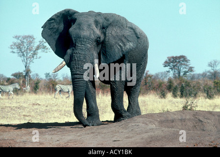 large bull, Loxodonta africana - Stock Photo