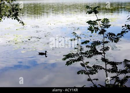 Duck on the Sognsvann lake, Norway - Stock Photo