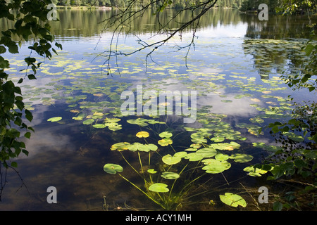 Water lilies on the Sognsvann lake, Norway - Stock Photo