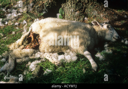 Sheep killed by a dog in the Lake District Cumbria - Stock Photo