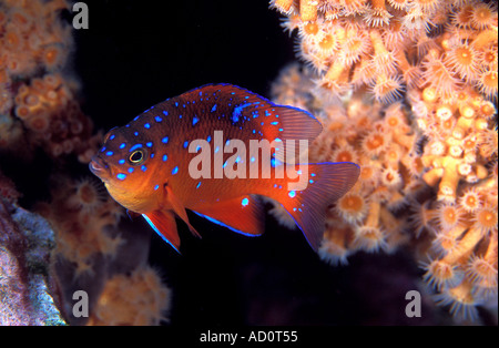Juvenile garibaldi Hypsypops rubicundus Catalina Island California USA Stock Photo